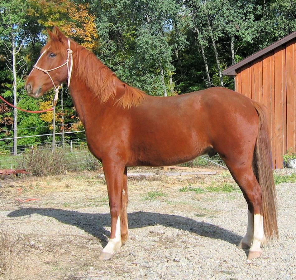 Horse: Mountain Pleasure Horse
