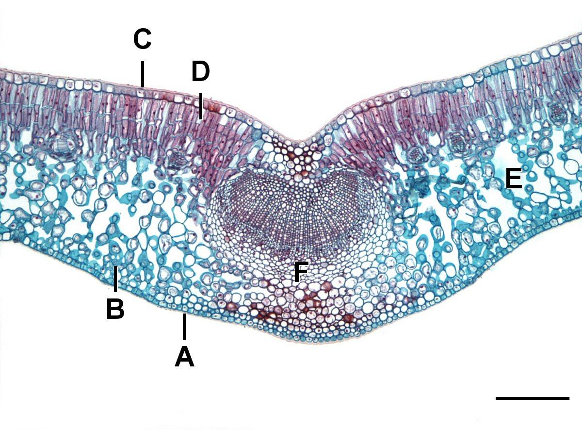 Monocots vs. Eudicots - Plant Structure (BOT315)