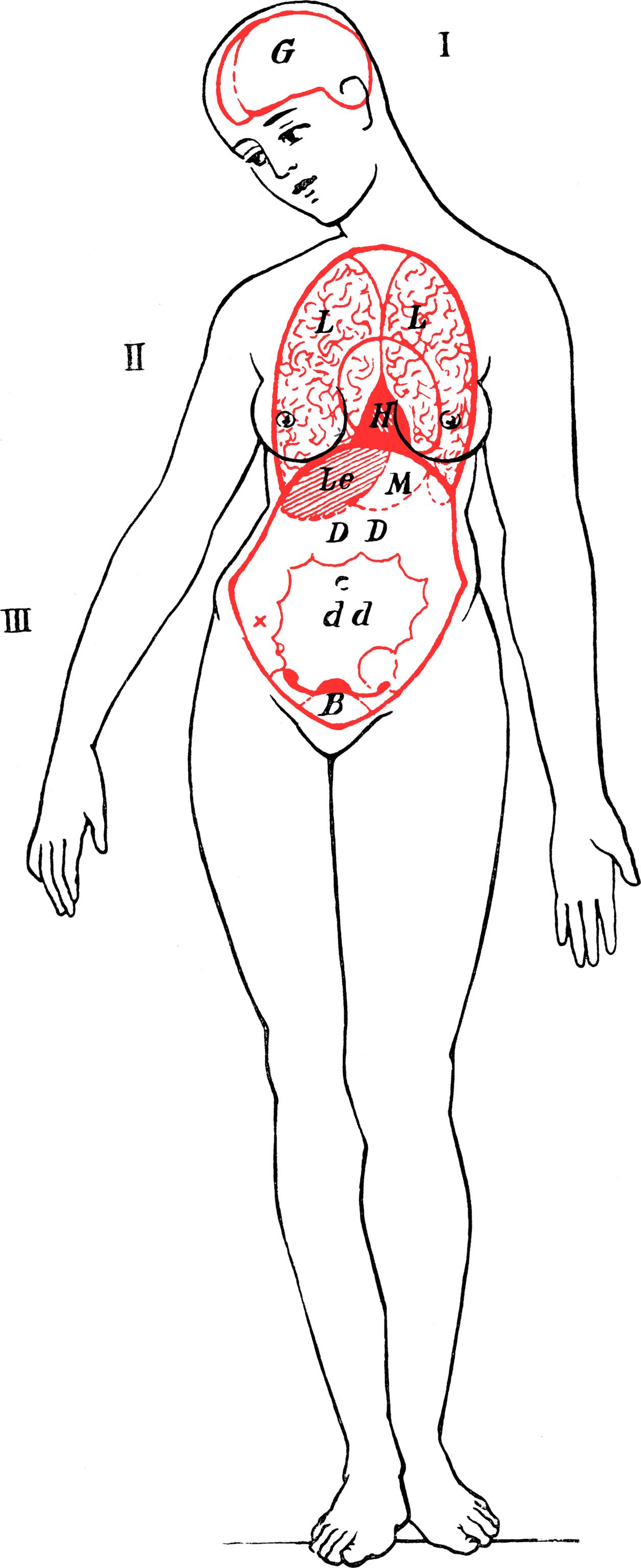 File:Die innerenOrgane undKorperhohlen desWeibes.png - Wikimedia Commons