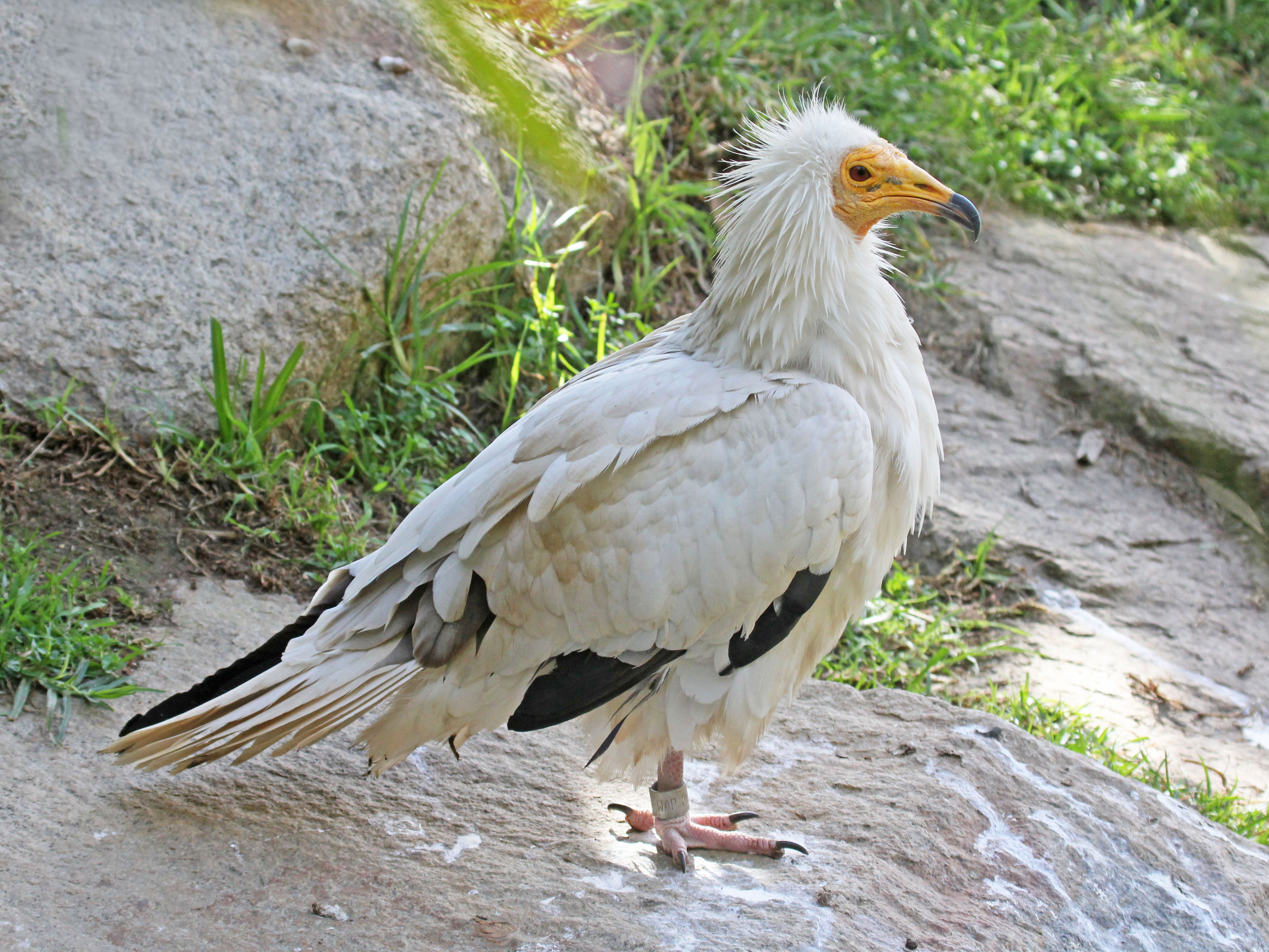 egyptian vulture drawing - photo #20