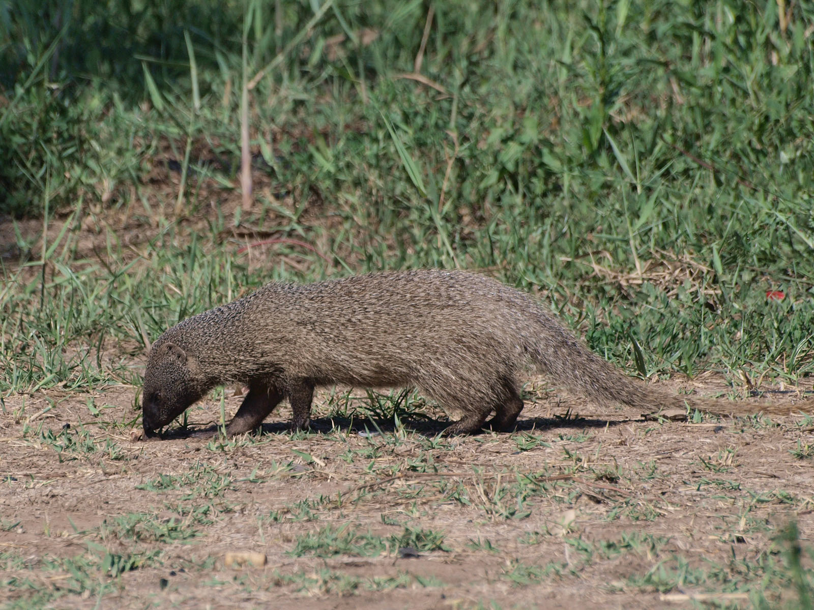https://upload.wikimedia.org/wikipedia/commons/b/b0/Egyptian_mongoose_-_Herpestes_ichneumon_-_near_Alexander_Stream%2C_Israel.JPG