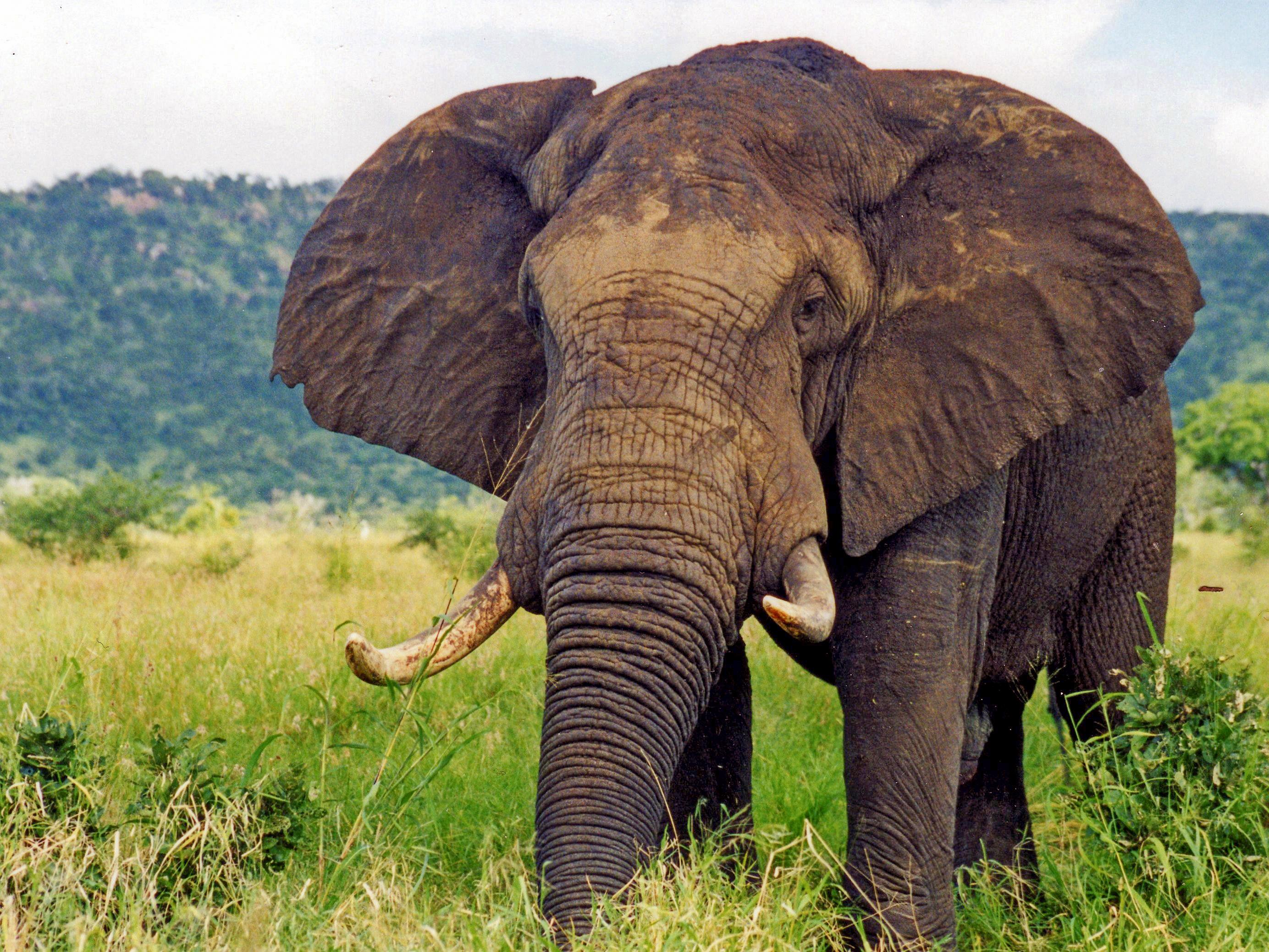 Opinions On Elefant