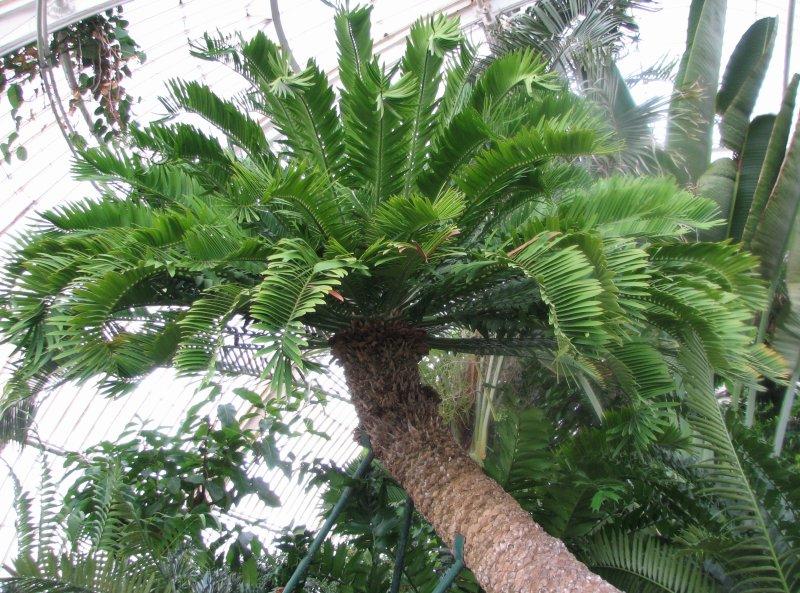 Encephalartos altensteinii Encephalartos_altensteinii1