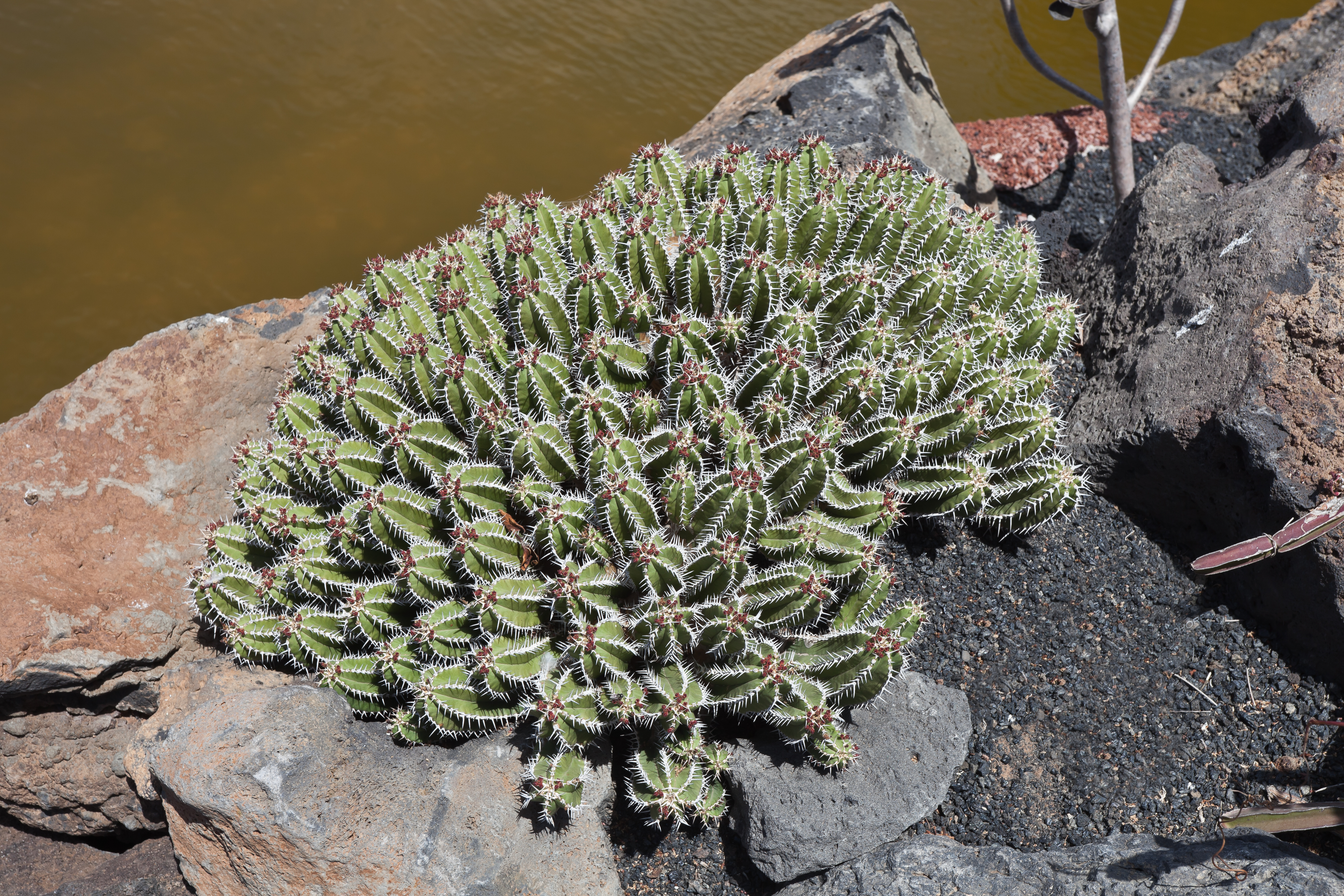 File euphorbia echinus guatiza jard n de cactus for Jardines con cactus