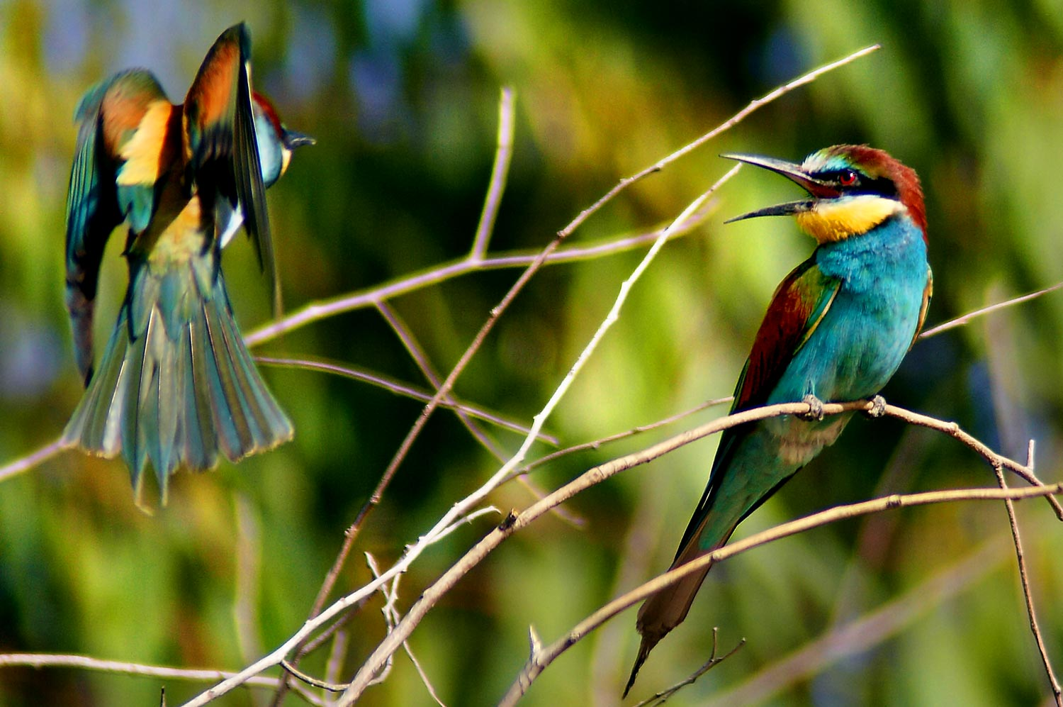 Bee Eater Picture from Wikimedia Commons