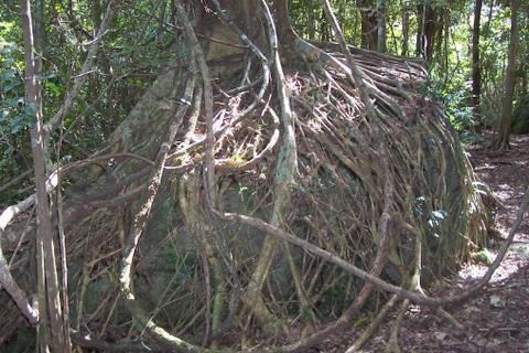 [Prologo] ¿Quién ganara? La hermosa ninfa del bosque o el solitario que desprecia a las personas felices Ficus_obliqua_Watagans_National_Park