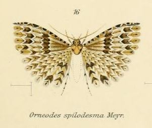 <i>Pterotopteryx</i> genus of insects