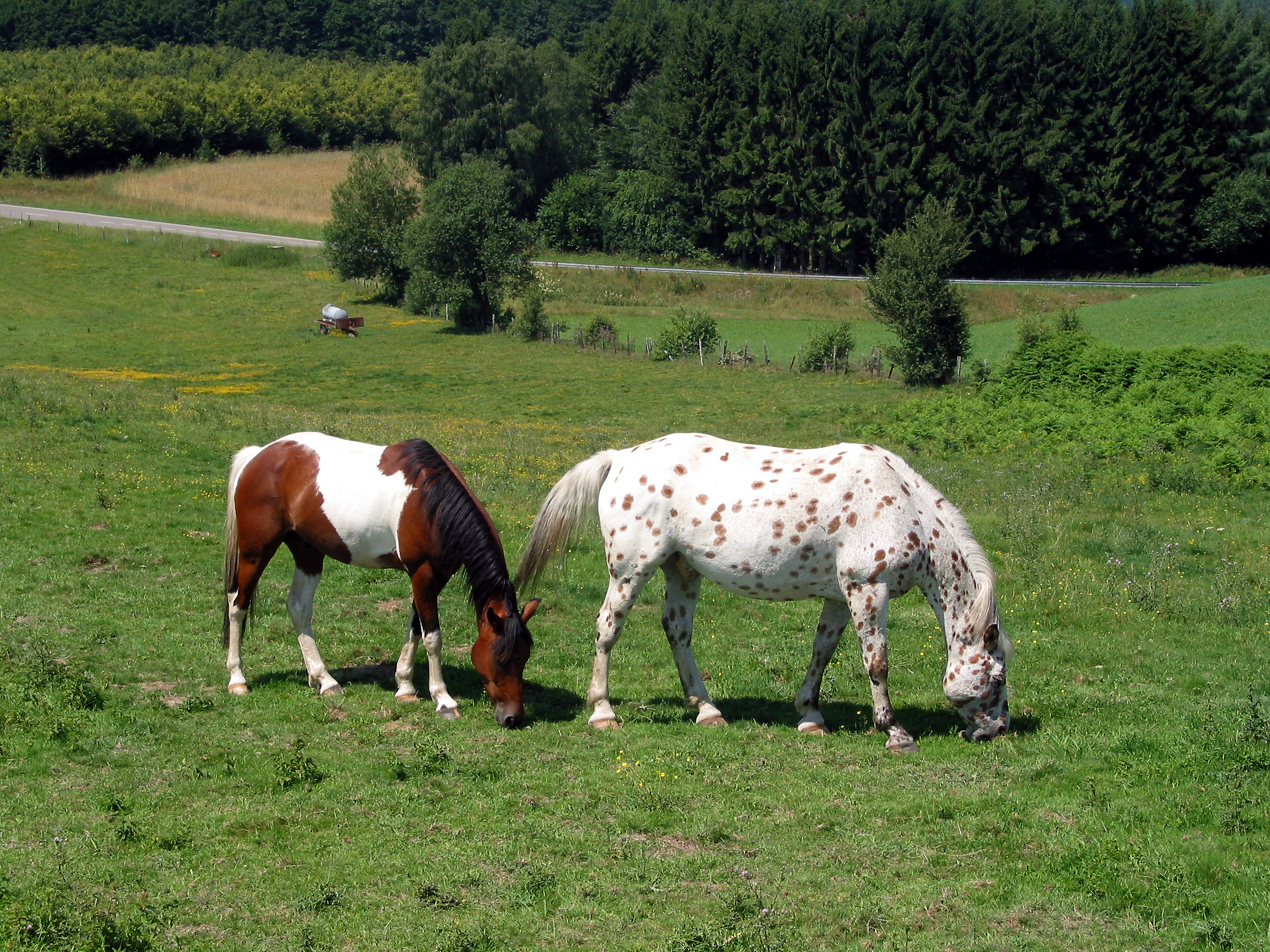 Paint and Appaloosa