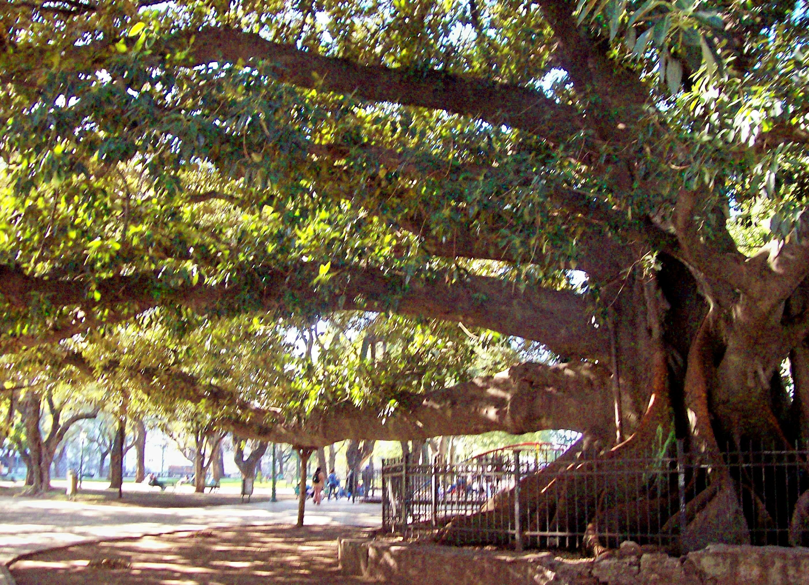 File:Gomero Ficus Elastica, Plaza San Martín.jpg