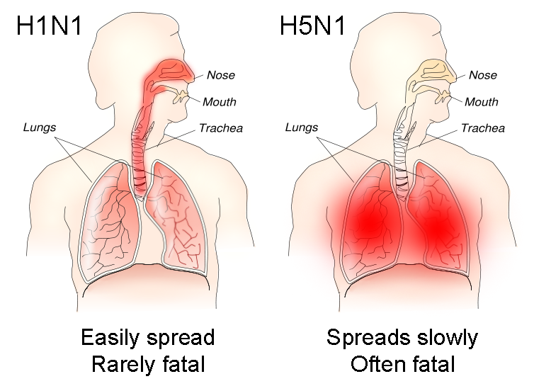 This chart from Wikipedia shows a side-by-side graphical comparison of the H1N1 and H5N1 influenza viruses.  H5N1 (avian flu) spreads very slowly (it has difficulty passing from bird to human) but is very deadly, attacking the lungs.  H1N1 (swine flu) spreads quickly, like seasonal flu, but mostly only effects the upper airways (nose, throat, etc.) and is rarely fatal.