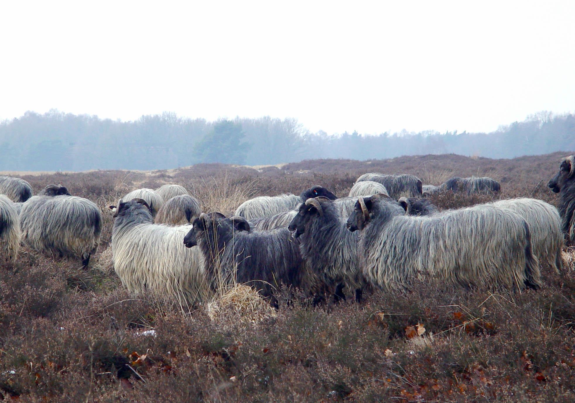 Märkische Vollschafe im Norden der Hundsmark