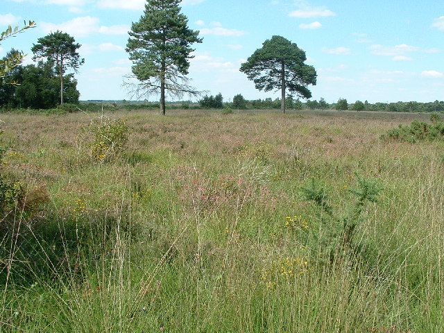 Holt Heath National Nature Reserve - geograph.org.uk - 35055