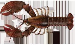 File:Homarus americanus.png - Wikimedia Commons