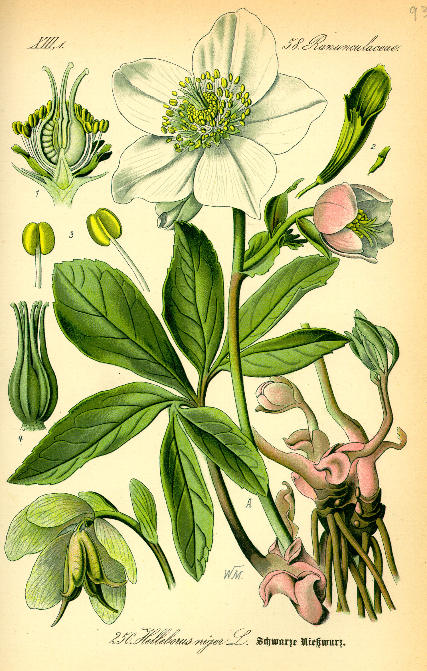 http://upload.wikimedia.org/wikipedia/commons/b/b0/Illustration_Helleborus_niger0.jpg