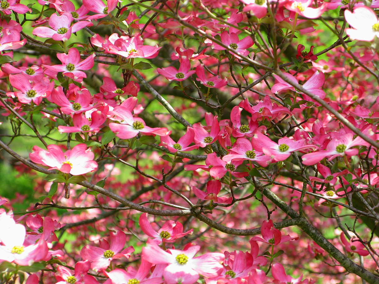 File Inside Pink Dogwood Tree Flowers West Virginia Forestwander