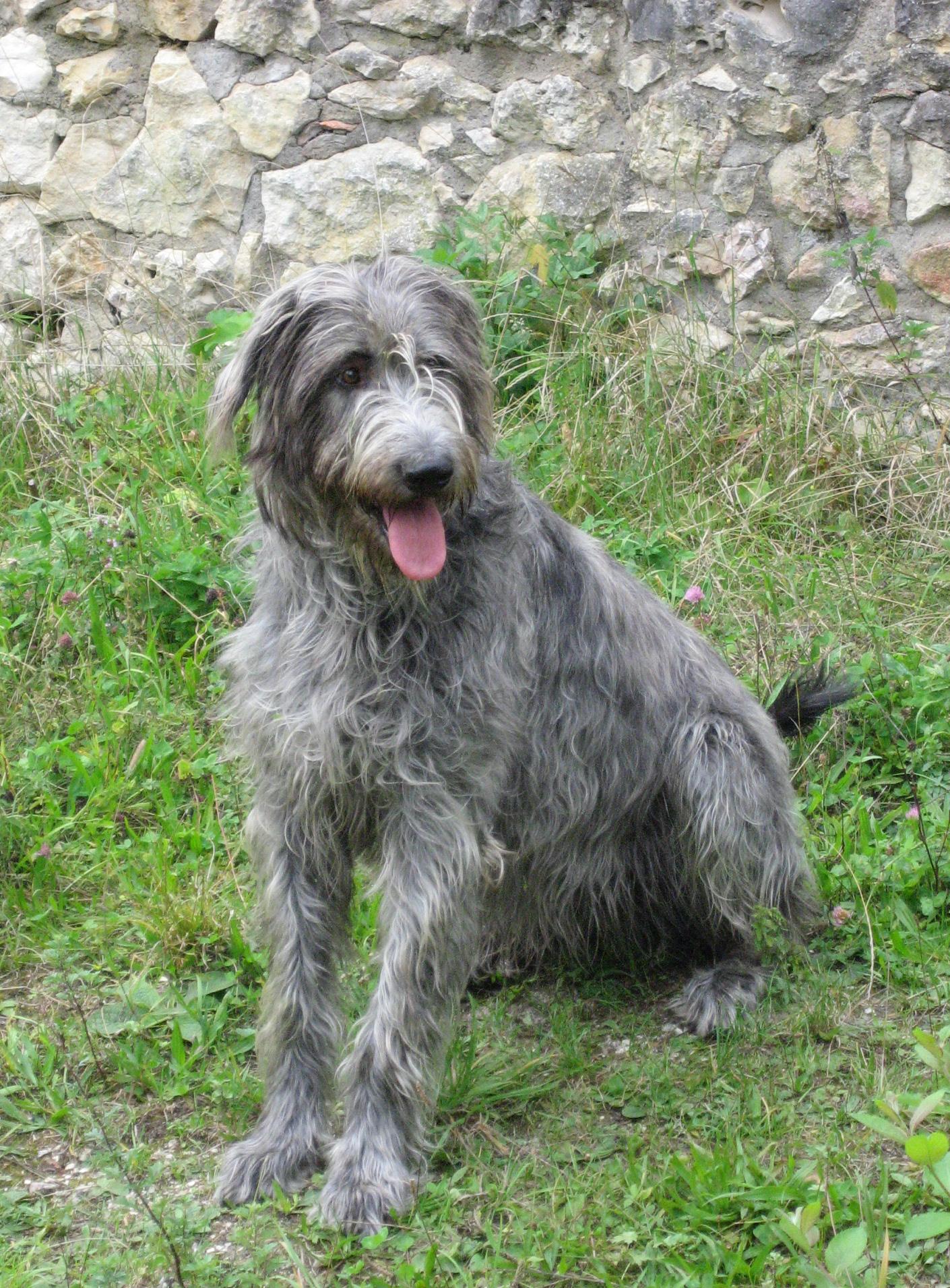 File:Irish Wolfhound.jpg - Wikimedia Commons