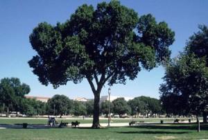 <i>Ulmus americana</i> Jefferson Elm cultivar