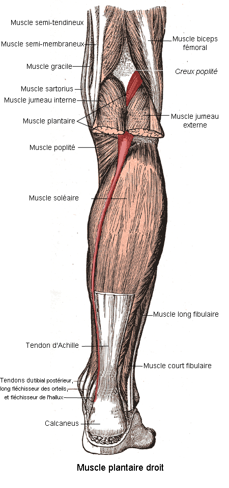 Muscle plantaire wikip dia for Exterieur triceps