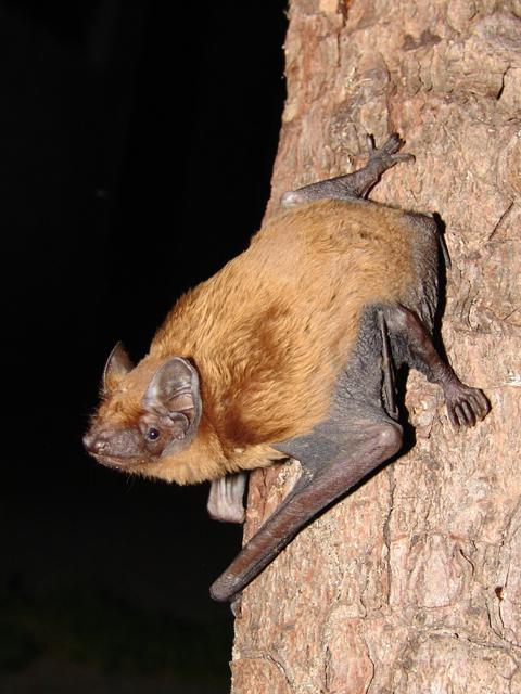 http://upload.wikimedia.org/wikipedia/commons/b/b0/Nyctalus_noctula.jpg