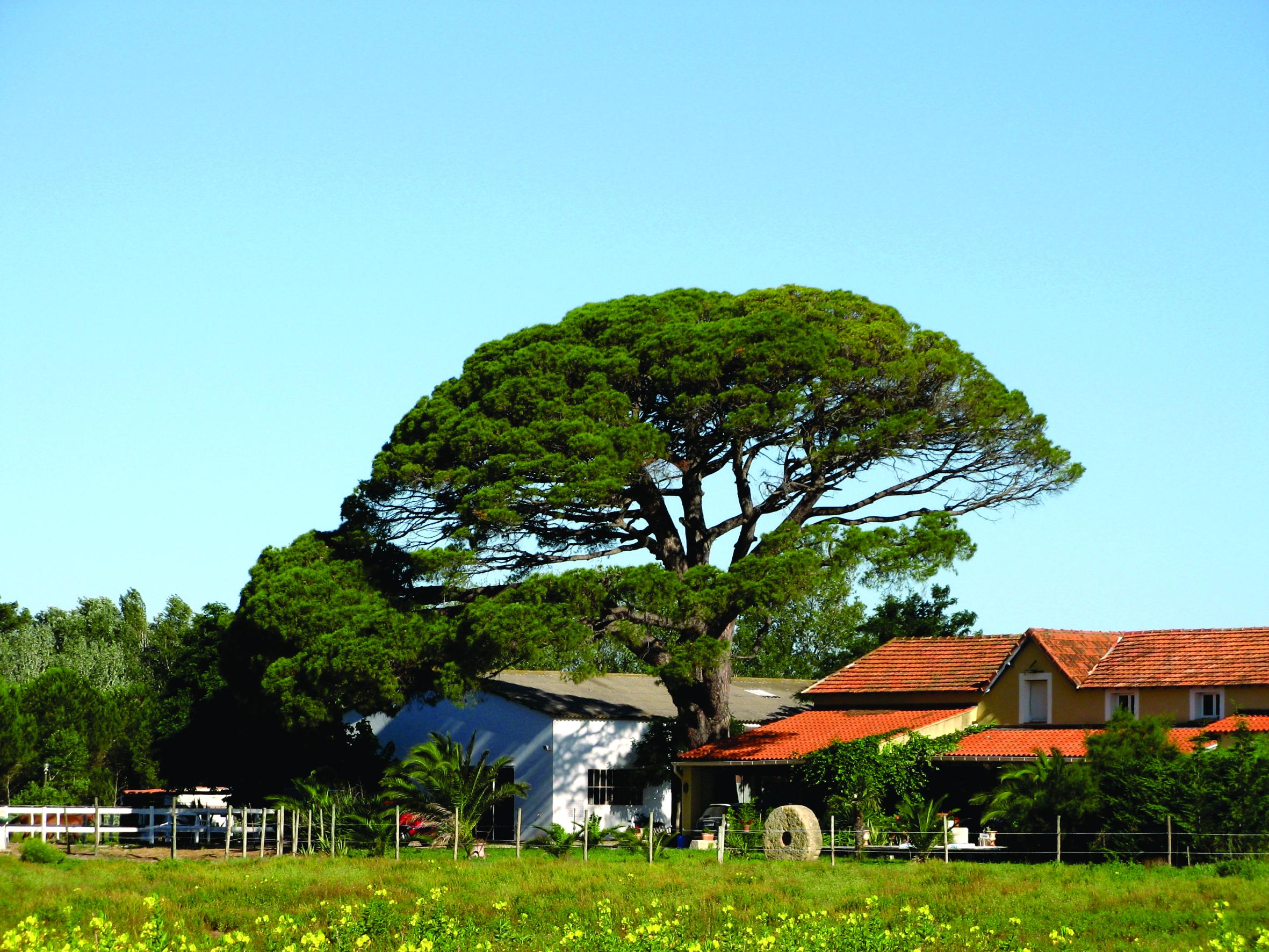 file parasolden pinus pinea frankrijk 2008 jpg wikimedia commons