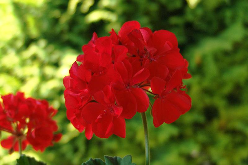 Ficheiro:Pelargonium flower.jpg