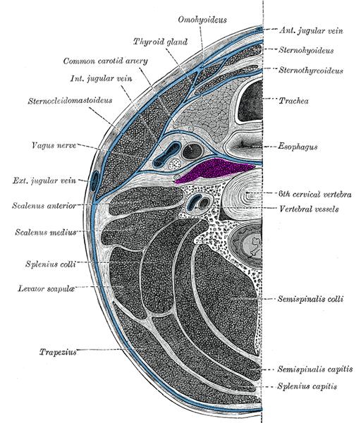 Prevertebral Muscles Wikipedia