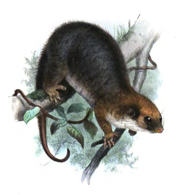 The average litter size of a Painted ringtail possum is 1