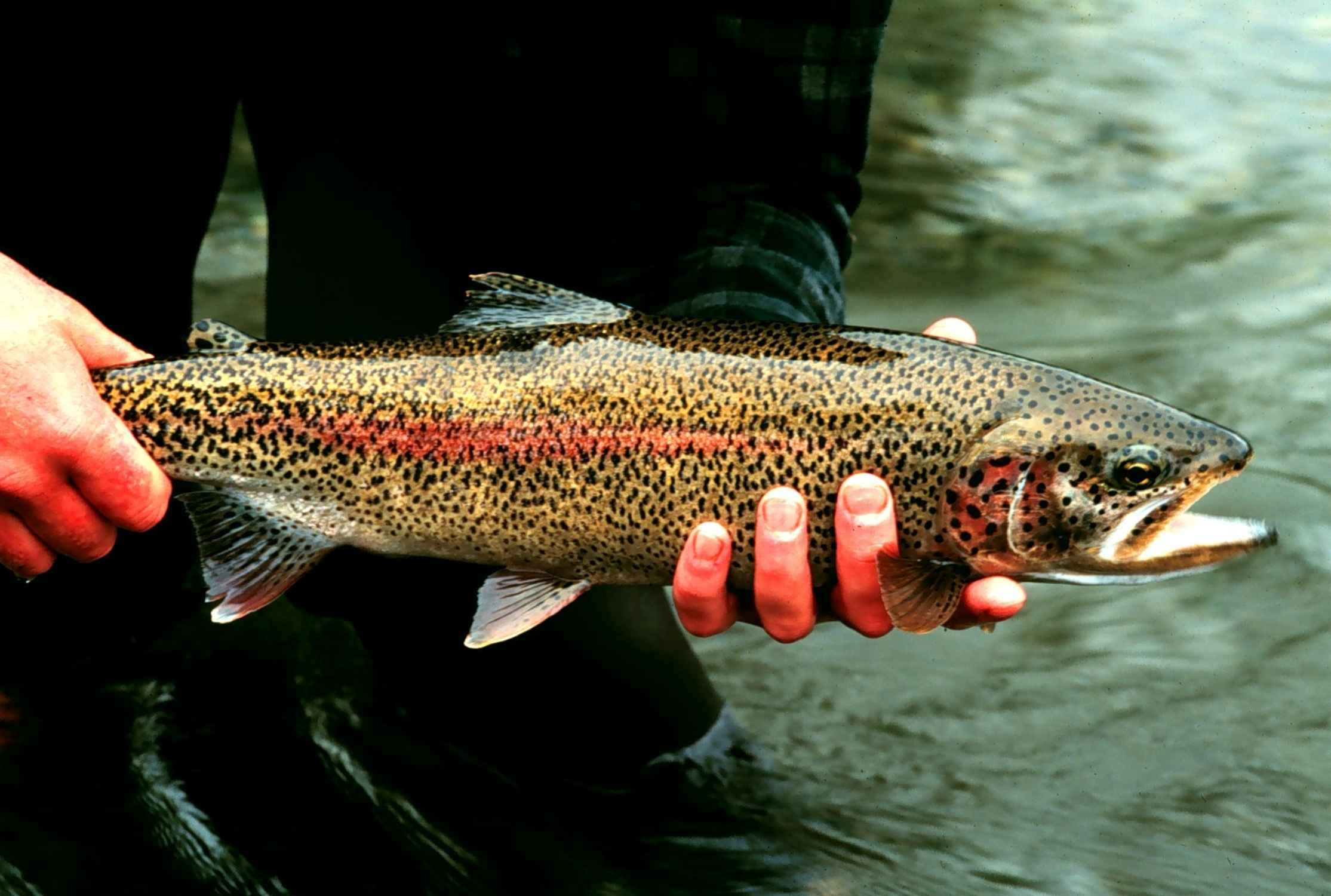 What do rainbow trout adults eat