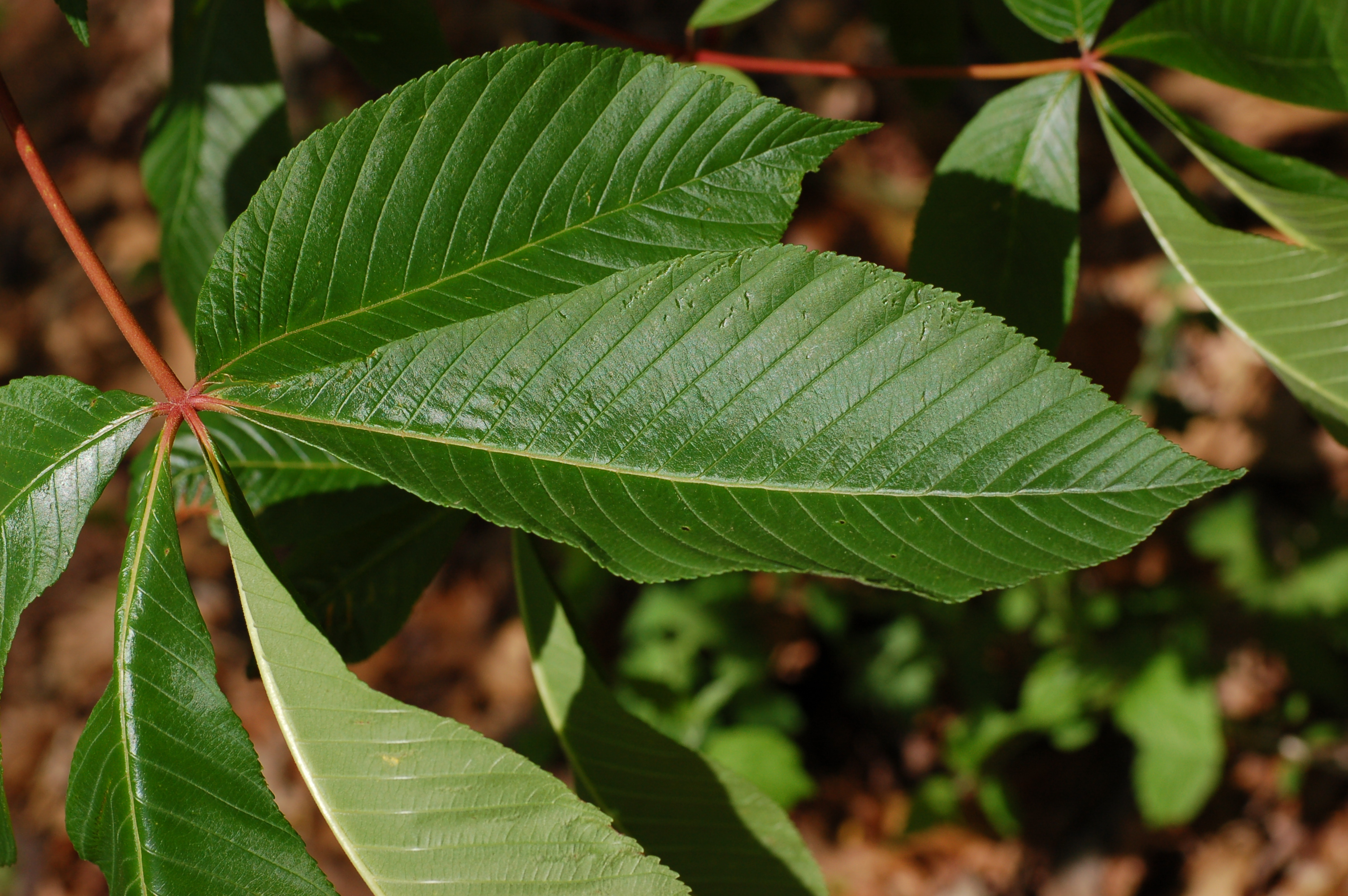 Image Result For Buckeye Leaf Pictures