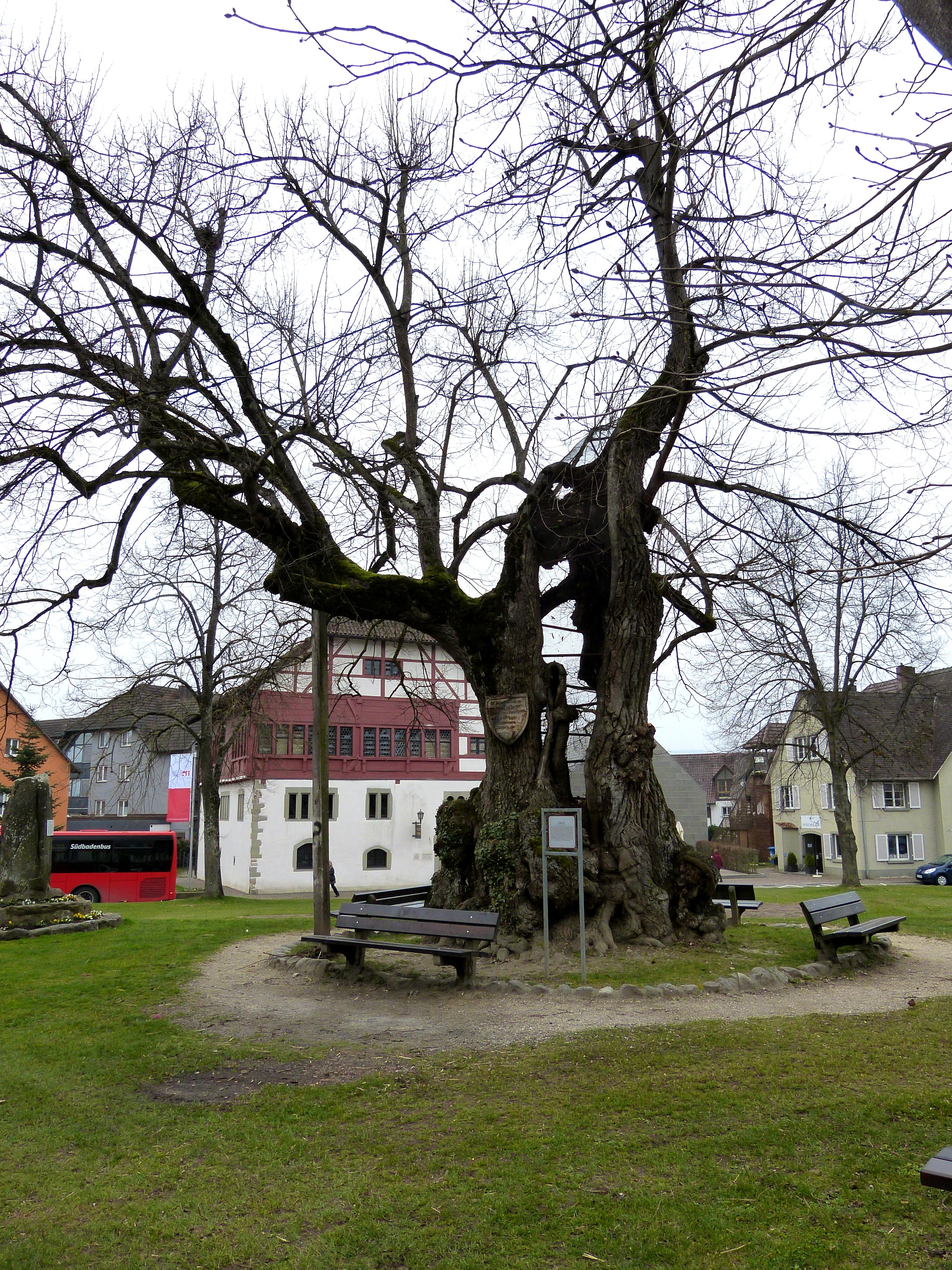 File:Reichenau Mittelzell - Ergat 2 Linde.jpg