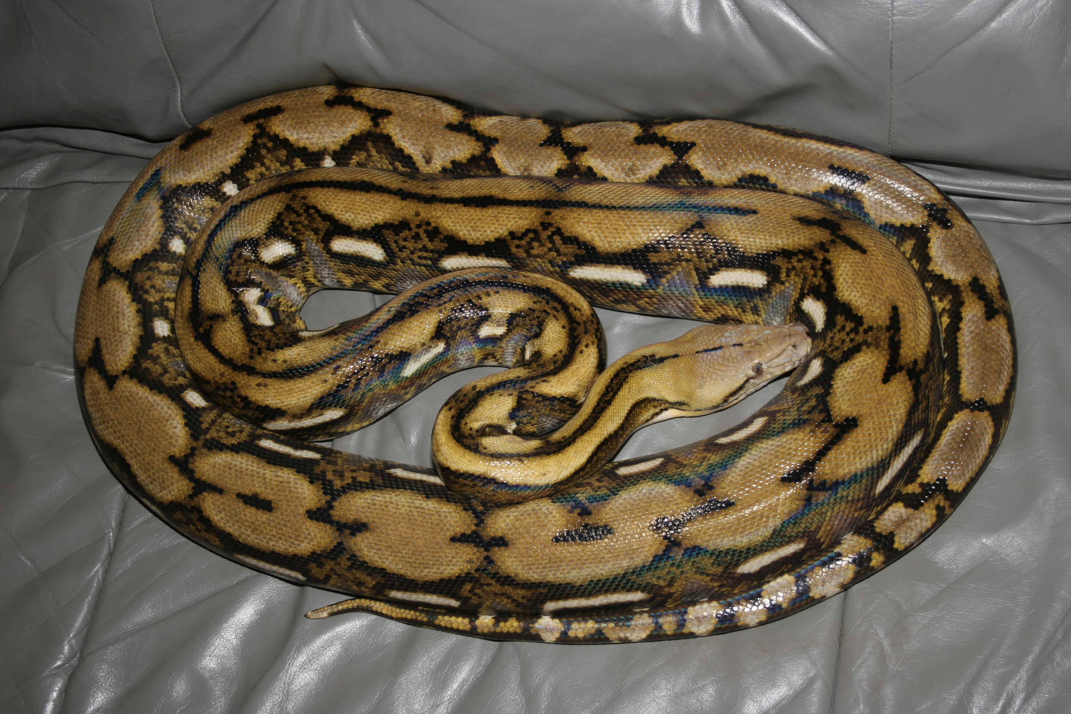 Baby Reticulated Python Baby reticulated python