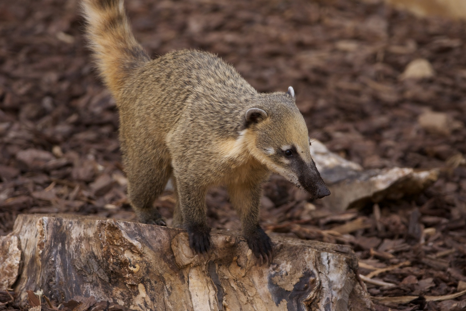 File Ring Tailed Coati Flickr P A H Jpg Wikimedia Commons