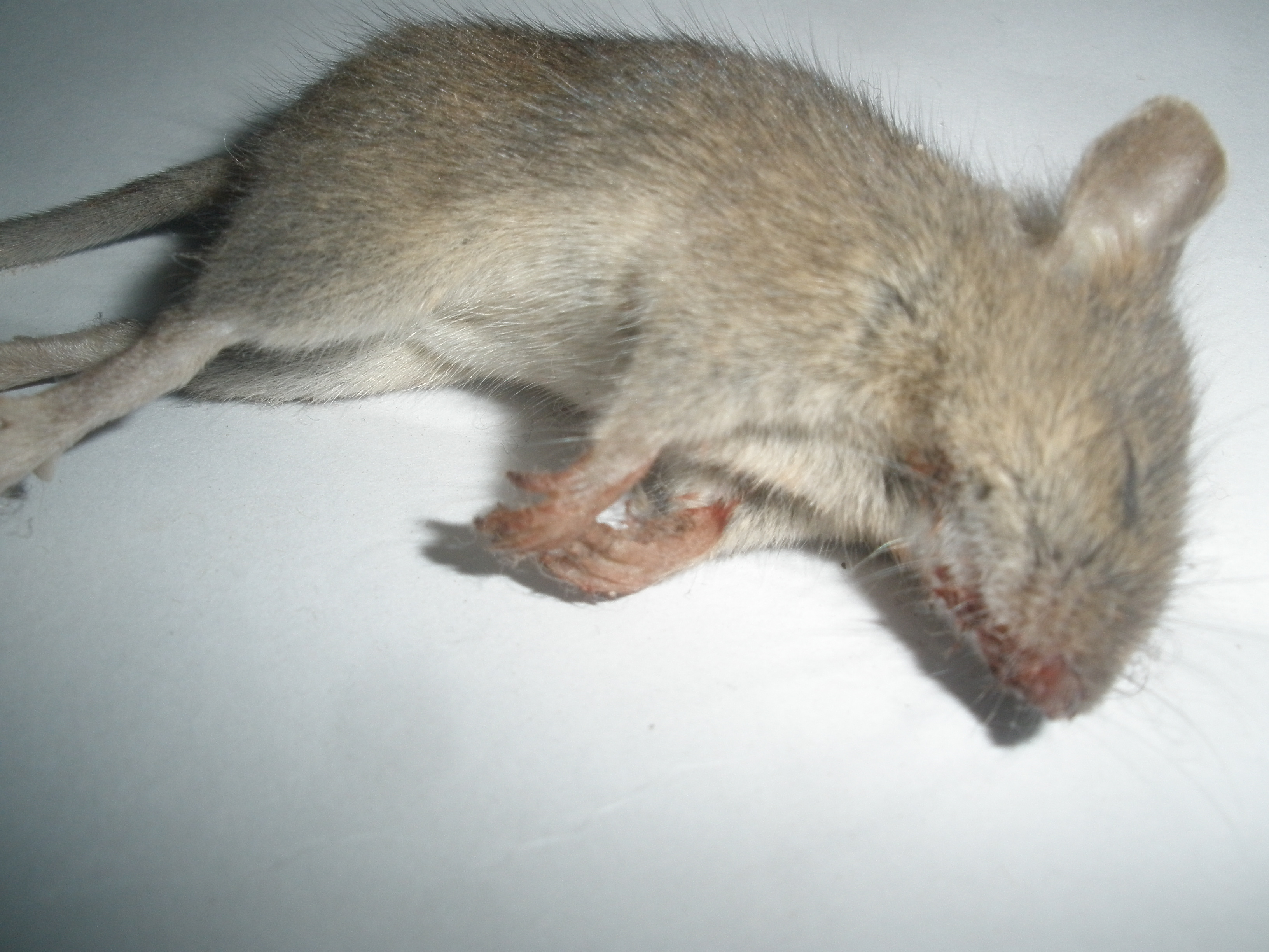 photo of a dead rodent