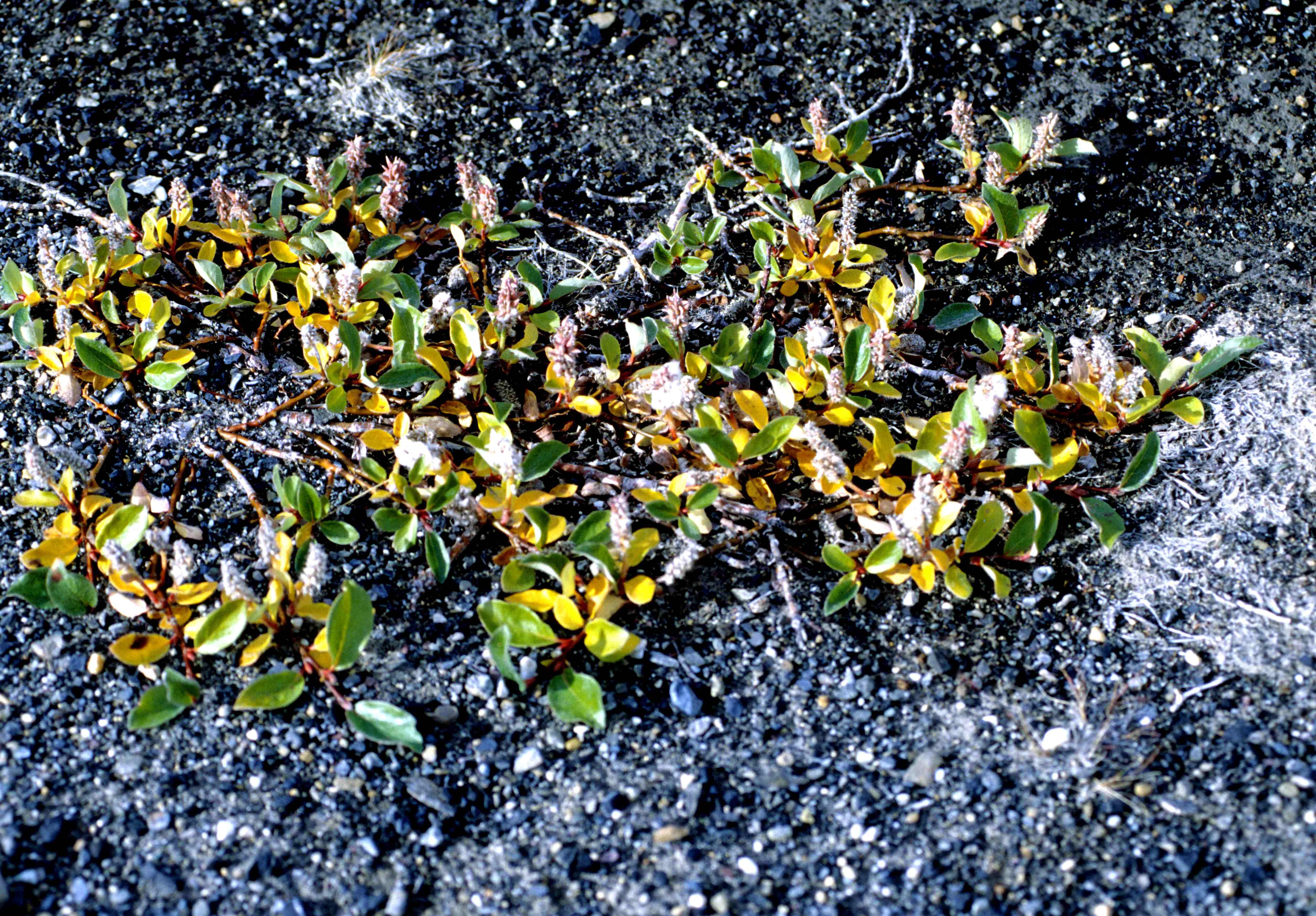 Salix arctica videos