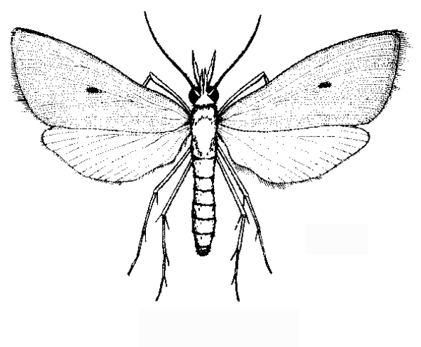 Diagram Of Rice Bug