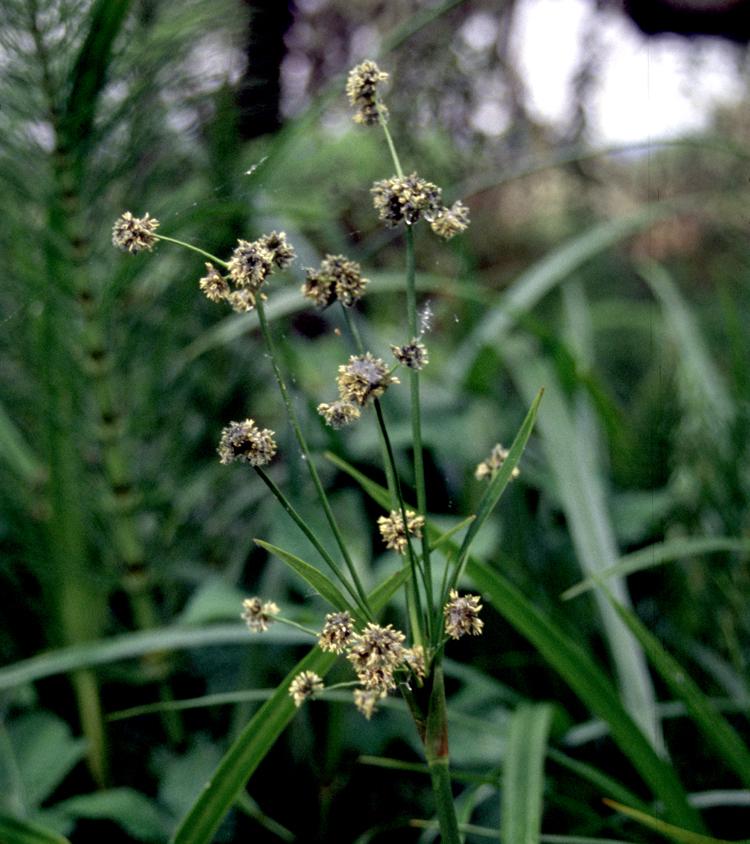 Scirpus microcarpus - Wikipedia