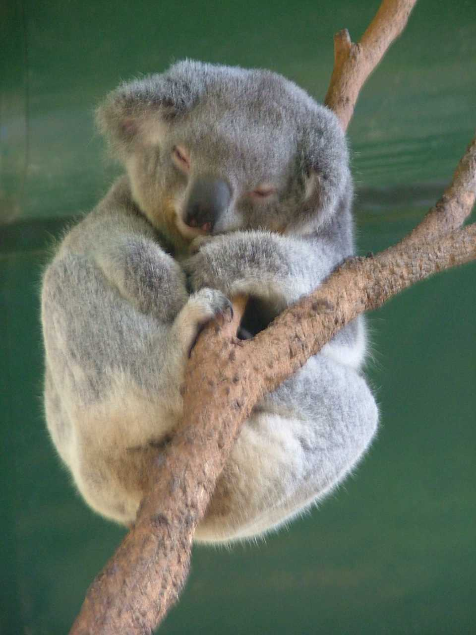 File:Sleeping Koala.JPG - Wikimedia Commons