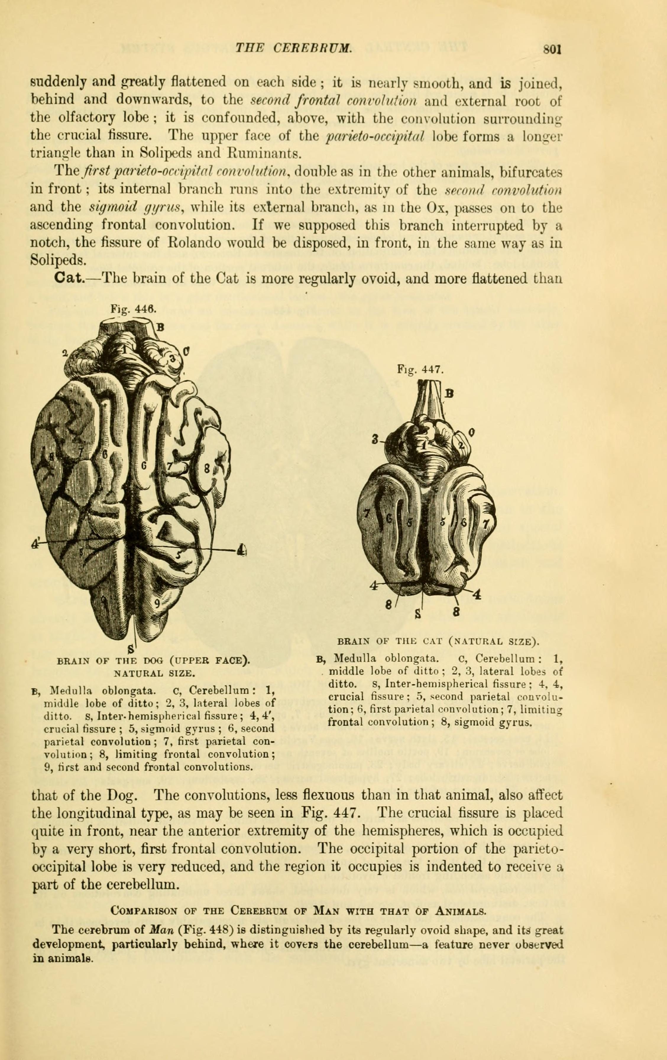 Filethe Comparative Anatomy Of The Domesticated Animals Page 801