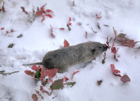 The average litter size of a Northern pocket gopher is 4