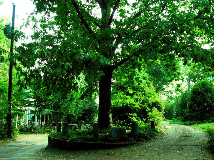 """Résultat de recherche d'images pour """"chêne de jackson à athens"""""""
