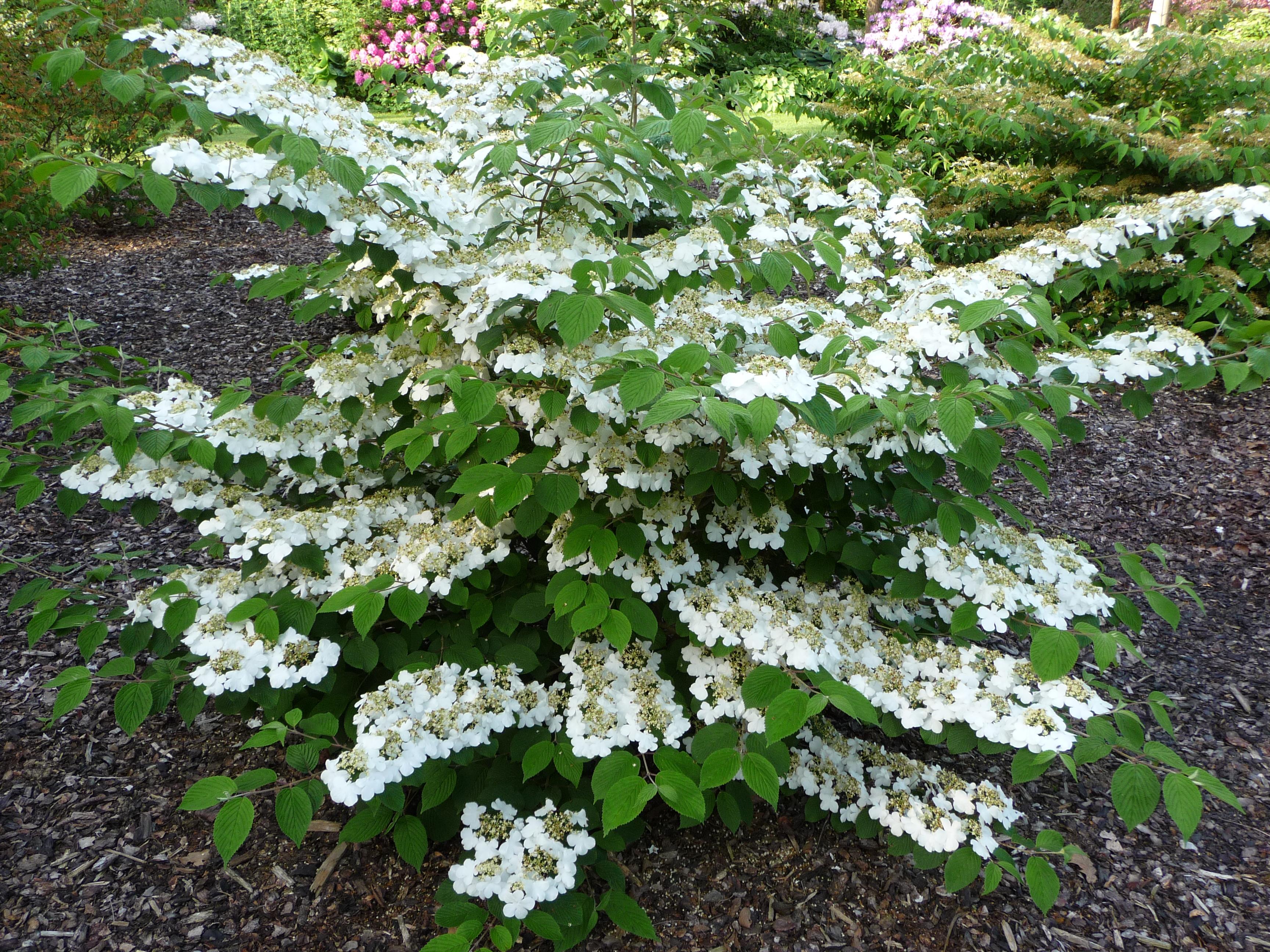 File Viburnum Plicatum Cascade Jpg