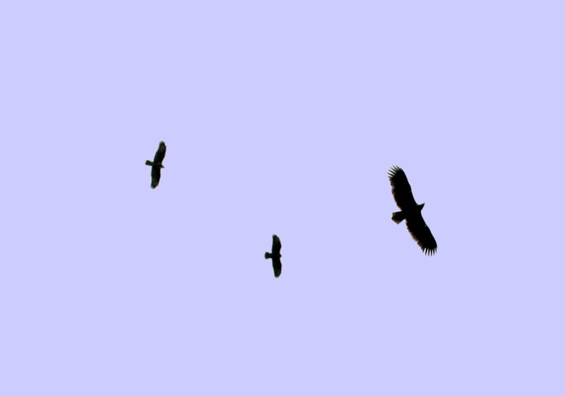 http://upload.wikimedia.org/wikipedia/commons/b/b0/White-tailed_Eagle_with_2_Buzzards.jpg