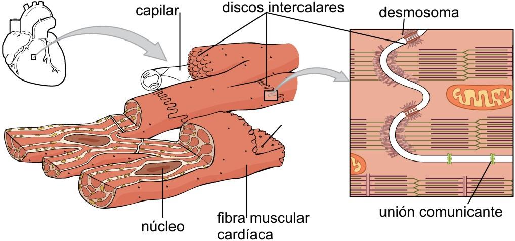 File:1020 Cardiac Muscle gl.jpg - Wikimedia Commons