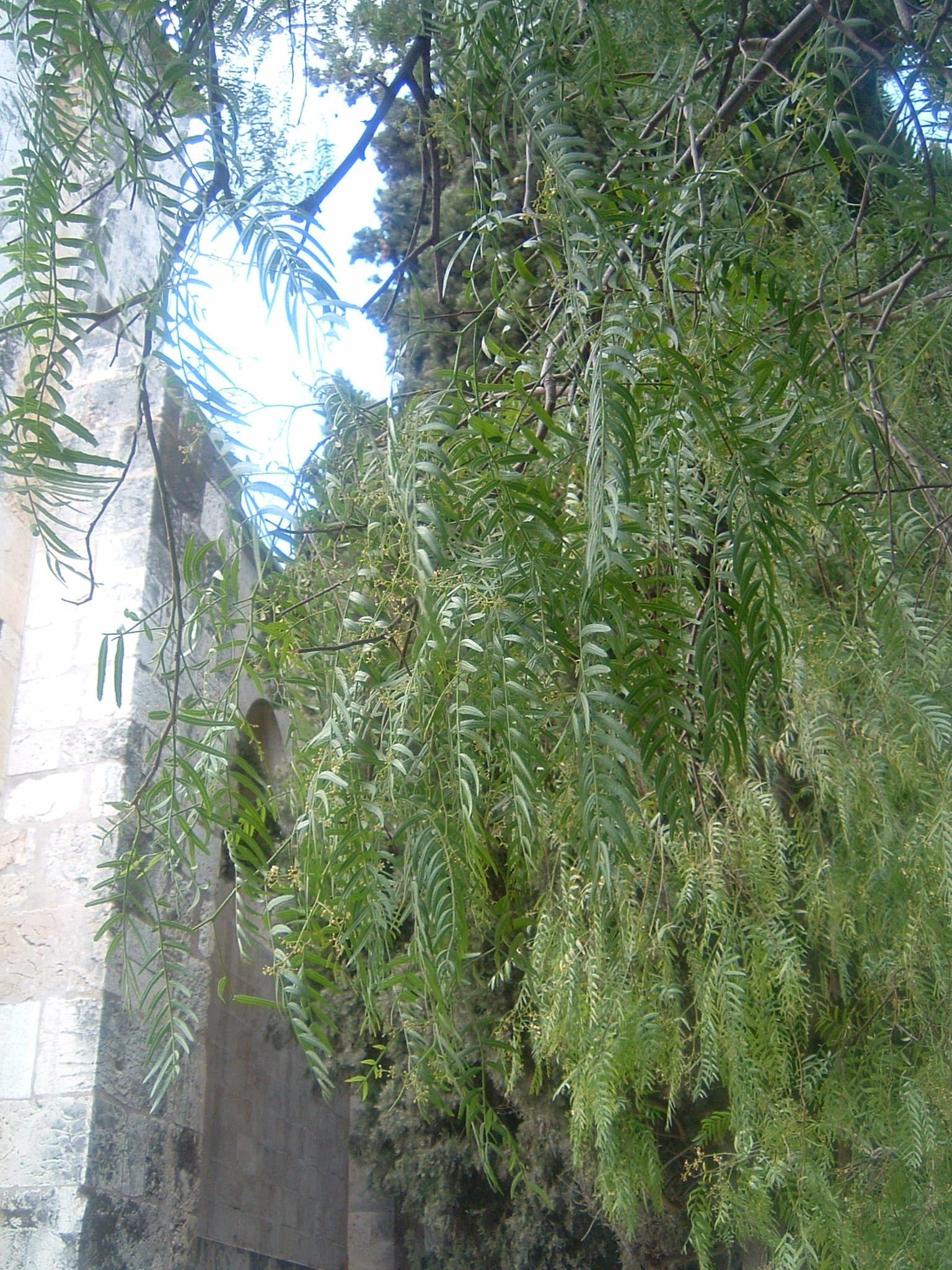 file albero del pepe monastero etiope di