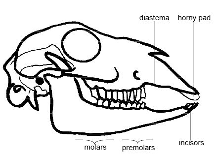 Anatomy and physiology of animals Sheeps skull.jpg