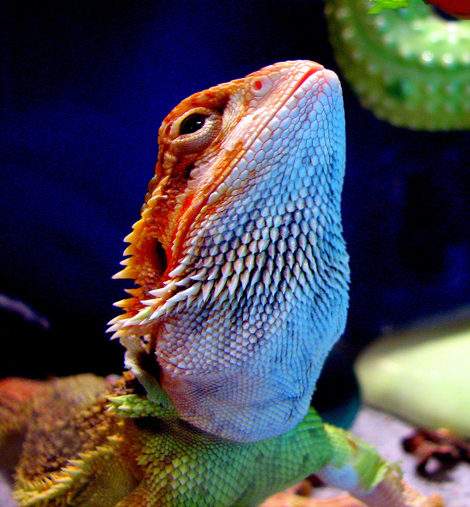 http://upload.wikimedia.org/wikipedia/commons/b/b1/Bearded_Dragon.jpg