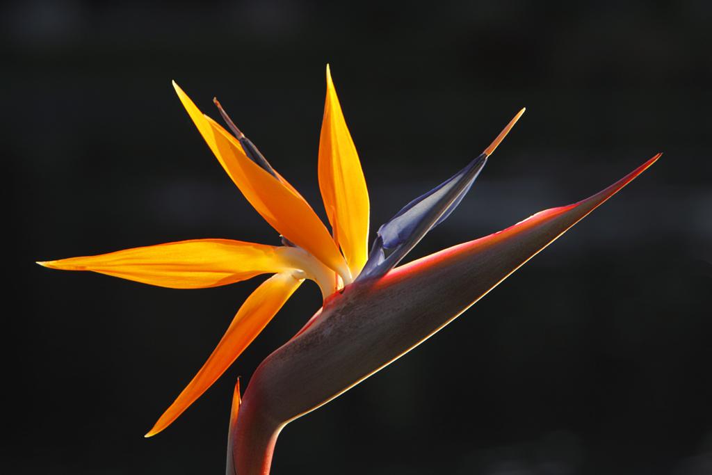 Filebird Of Paradise Flowerjpg Wikimedia Commons