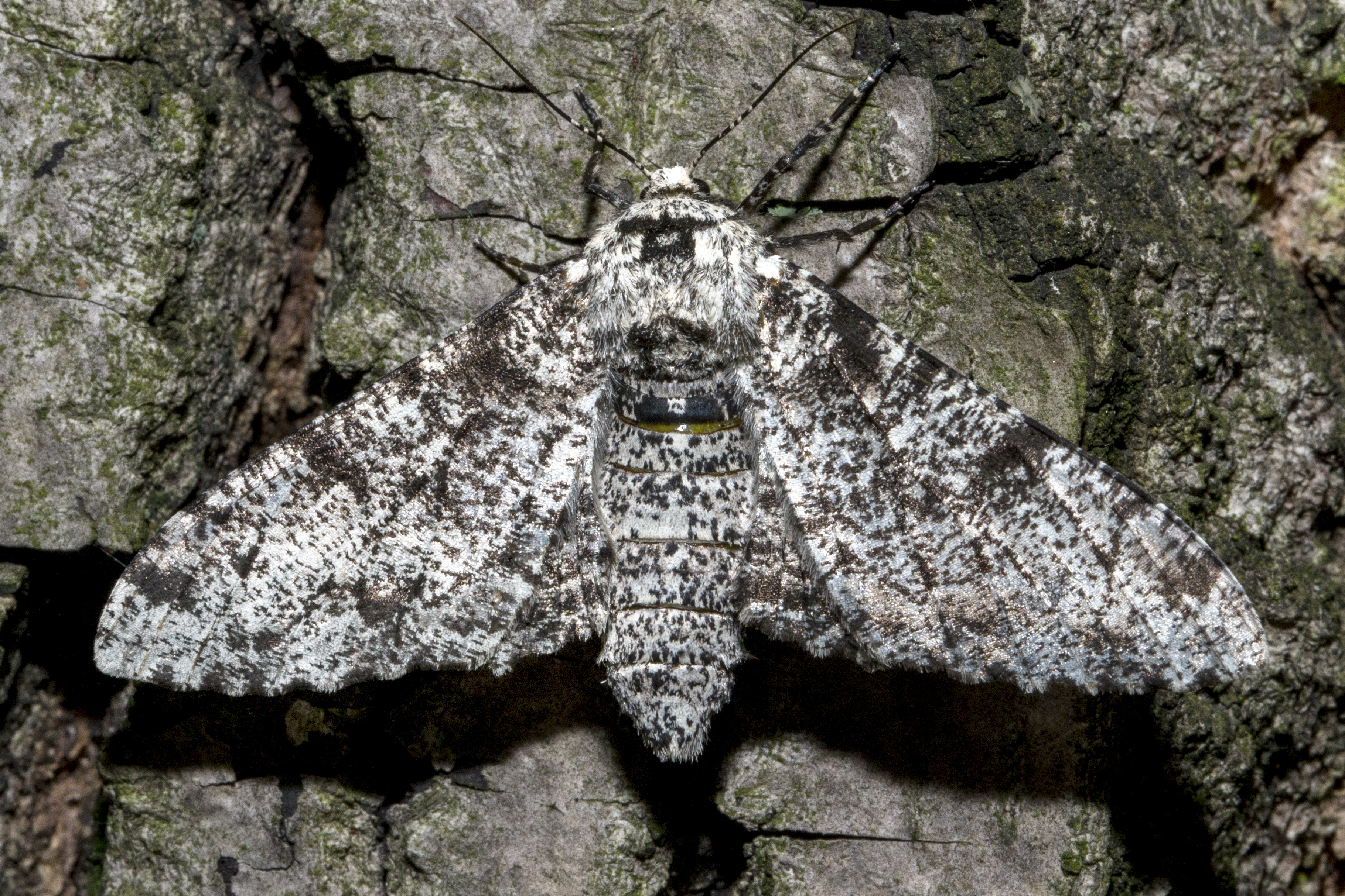 Peppered Moth Story Of Natural Selection
