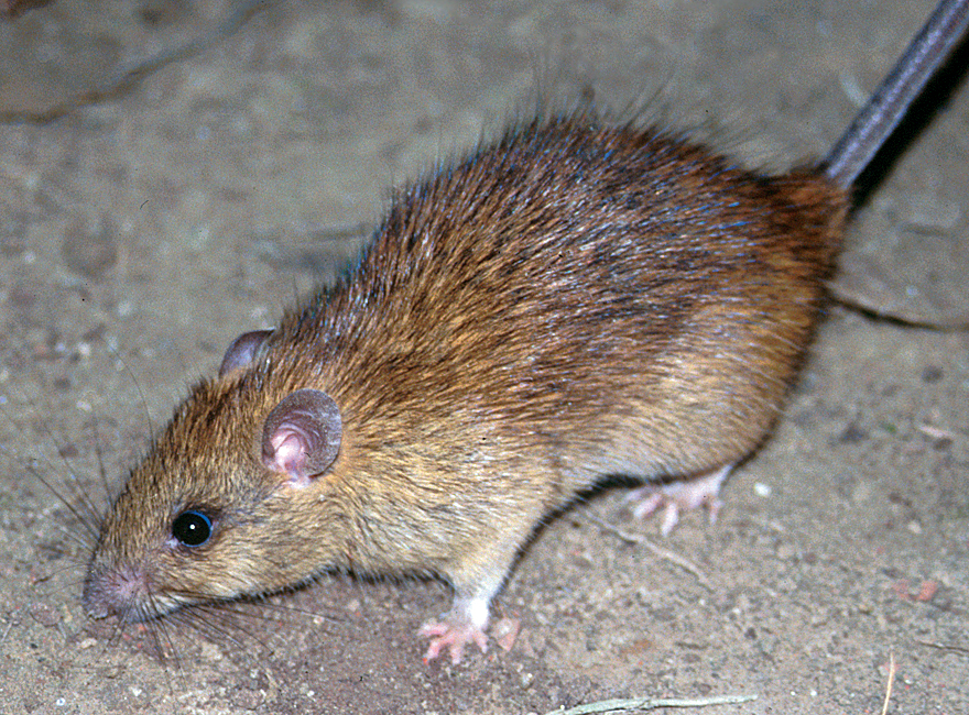 Image result for Rattus rattus