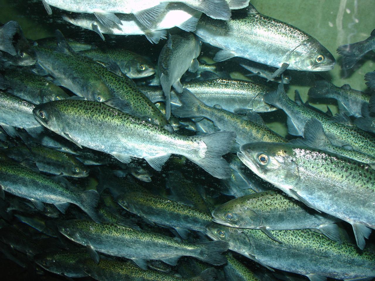 File Chinook salmon  O...